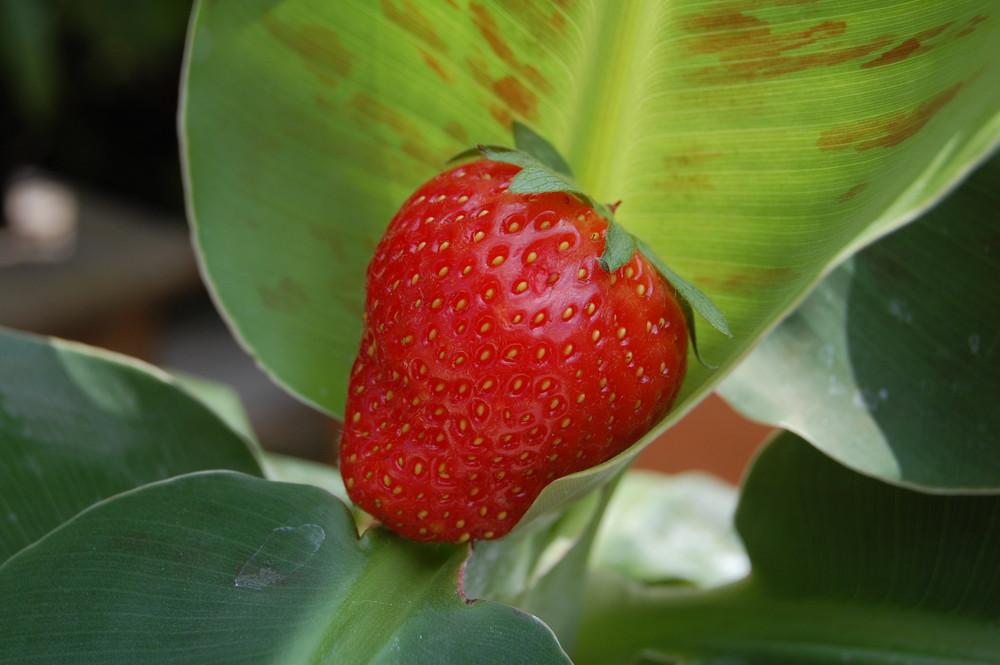 Erdbeerbanane