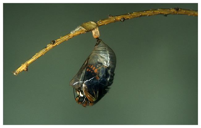 Erdbeerbaumfalter (Charaxes jasius)