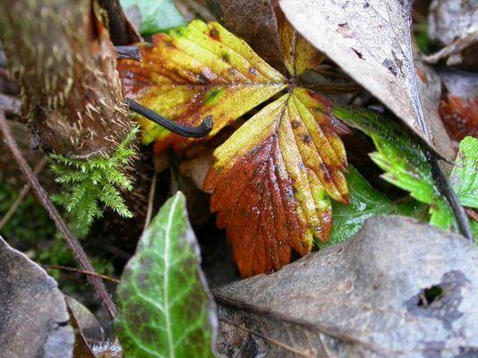 Erdbeerblatt im Herbst