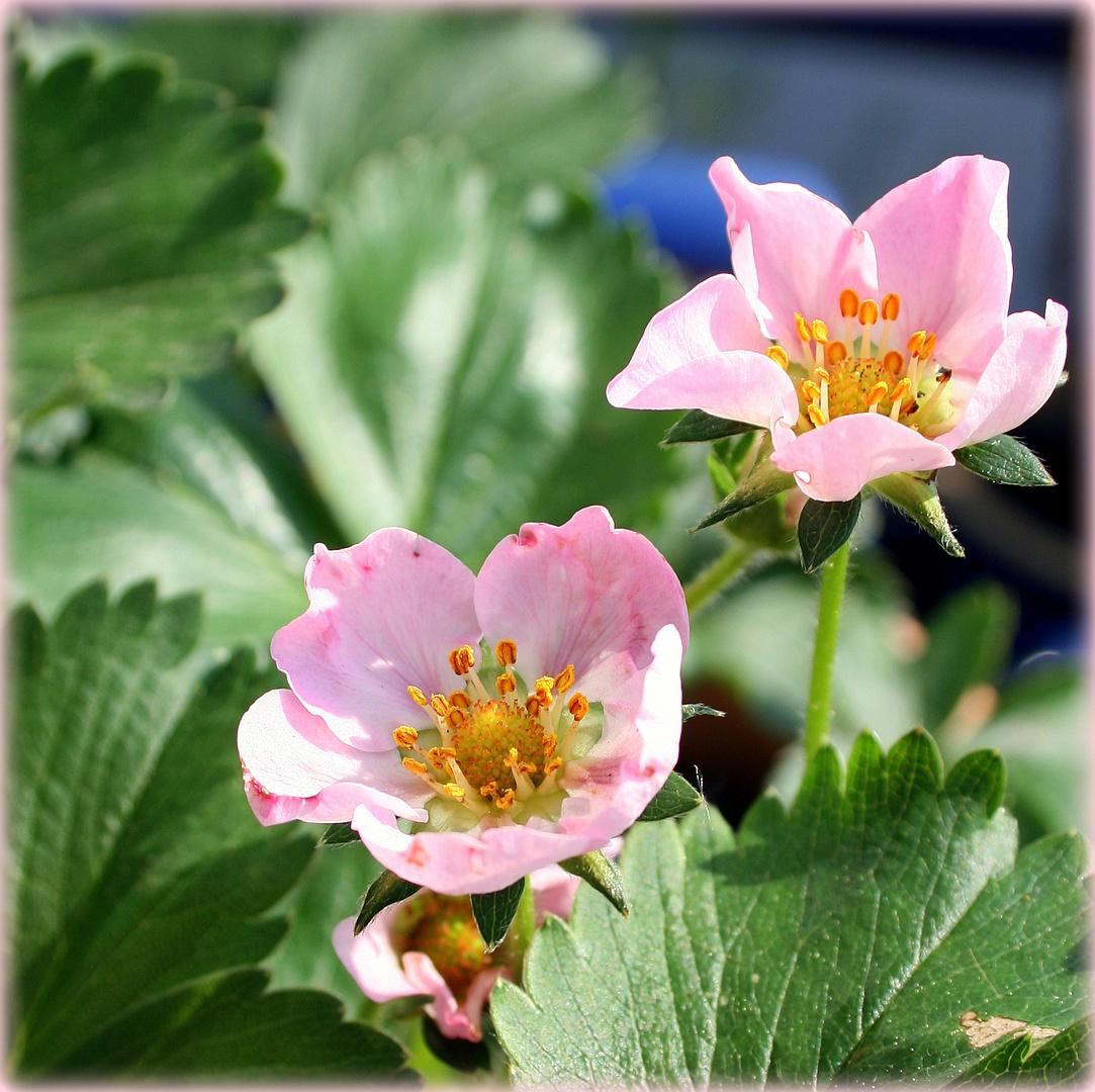 Erdbeerblüten im Sonnenschein