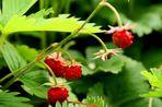 Erdbeeren in meinem Garten