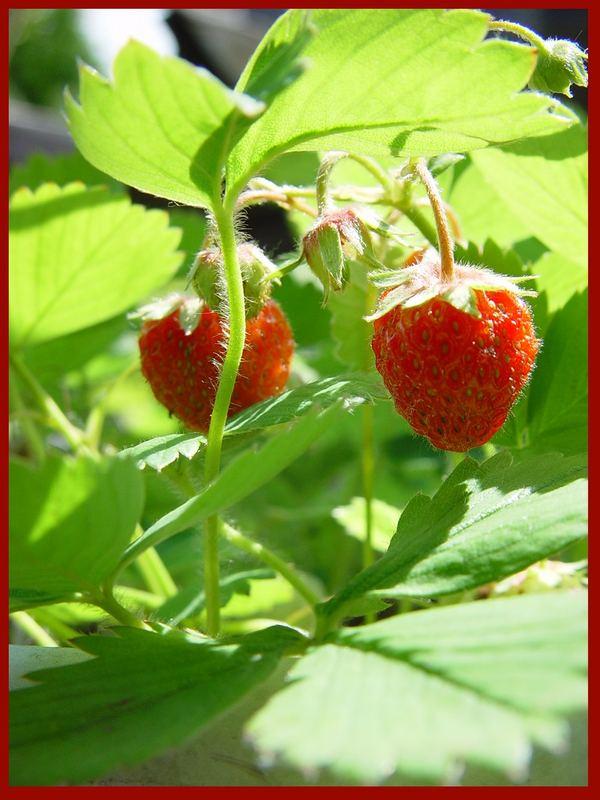 ...Erdbeeren,Erdbeeren...