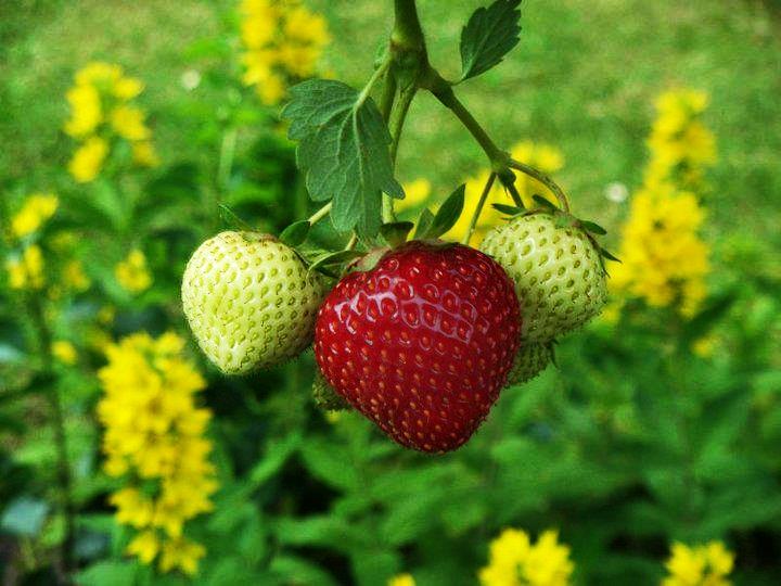 Erdbeer(familie)