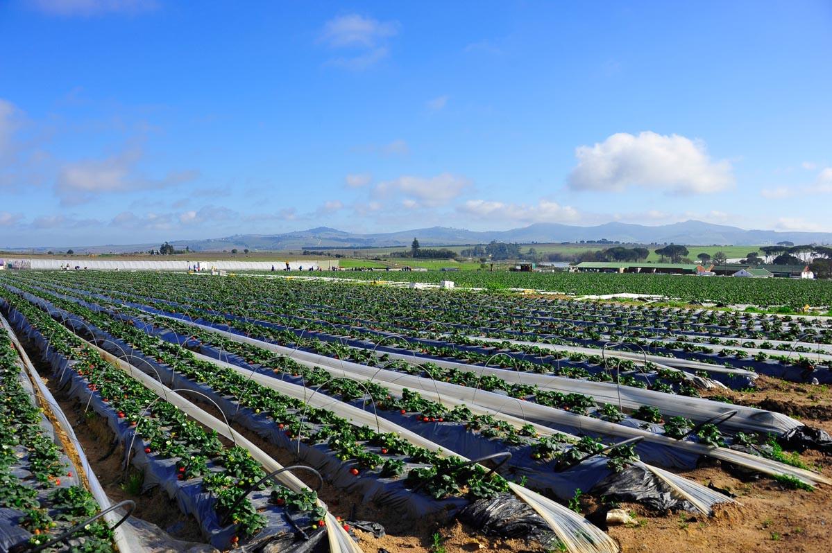Erdbeerfelder nahe Stellenbosch, Westkapland, Südafrika