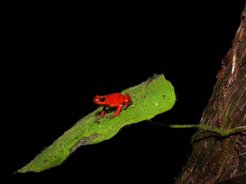 """Erdbeerfröschchen """"surft"""" auf einem Blatt durch den Urwald Costa Ricas"""