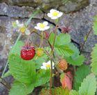Erdbeerzeit