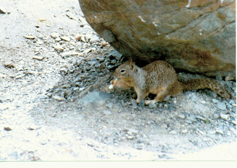 Erdhörnchen