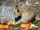 Erdhörnchen am Futtern