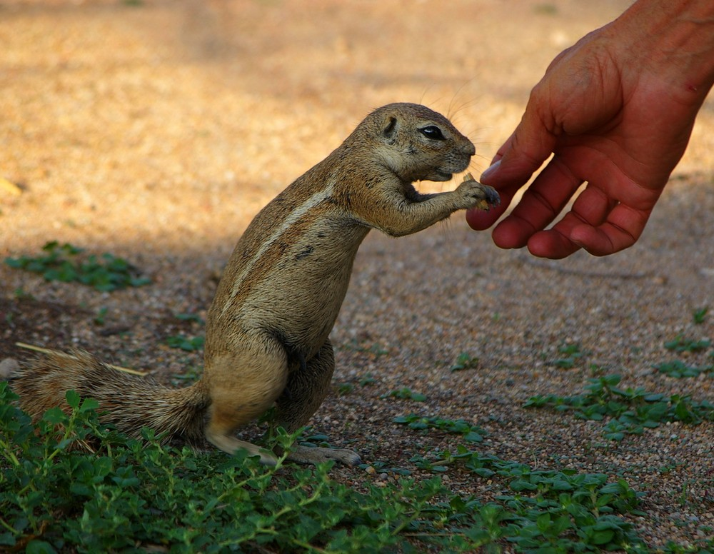 Erdhörnchen im Etosha-Nationalpark in Namibia