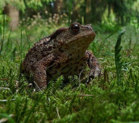 Erdkröte auf Waldlichtung....