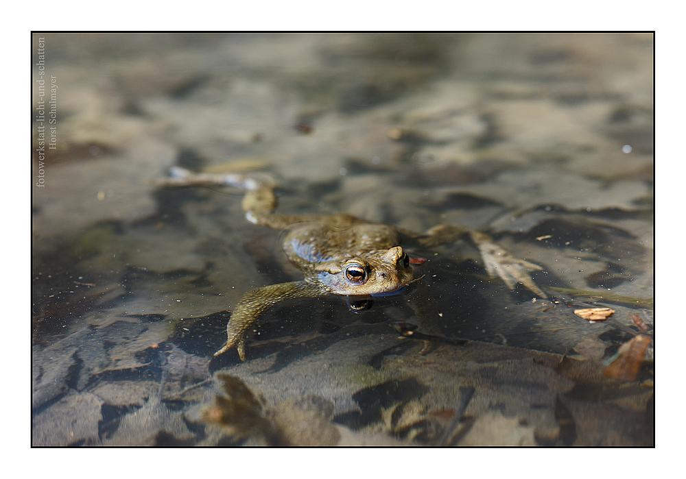 Erdkröte - Bufo bufo 2