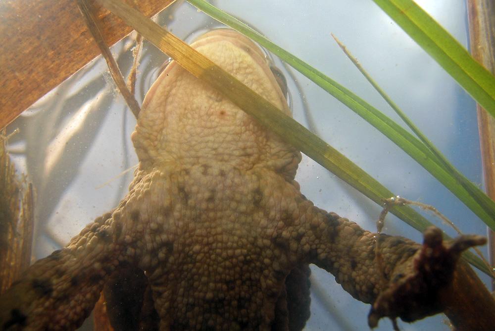 Erdkröte