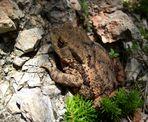 Erdkröte im Gebirge