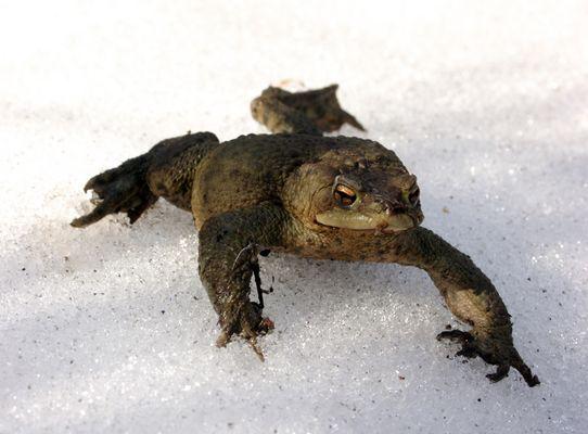 Erdkröte im Schnee...