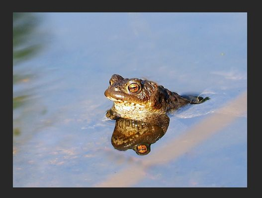 Erdkröte - neuer Teichbewohner