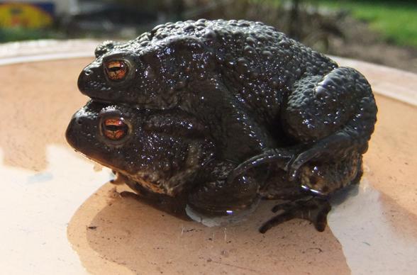 Erdkröten beim Sex