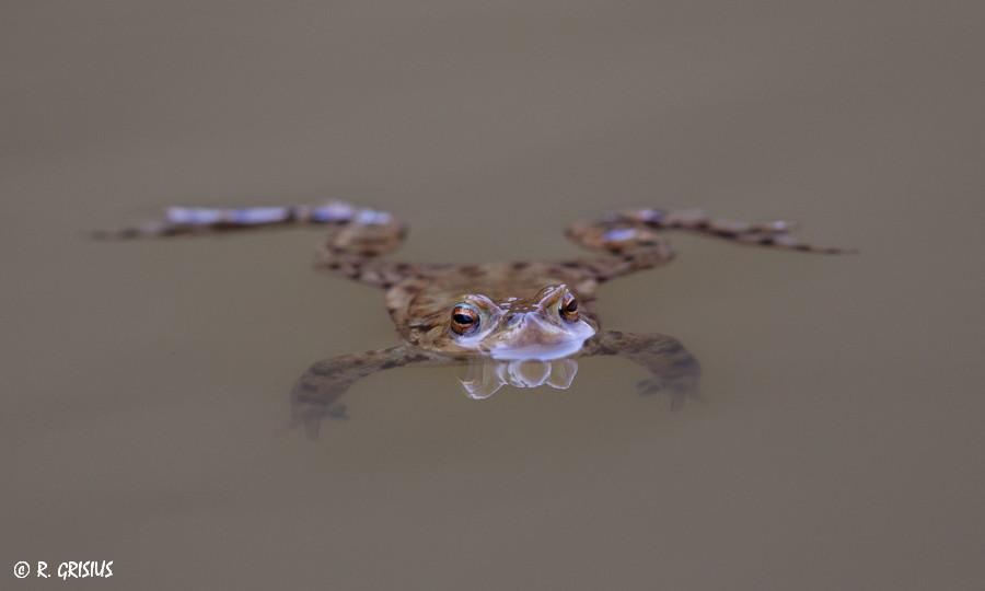 Erdkrötenmann hält Ausschau nach 'ner Braut