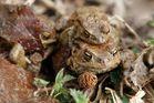 Erdkrötenpaare