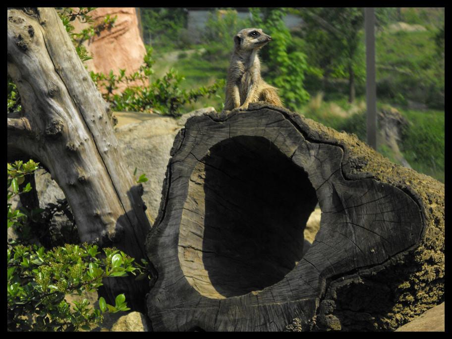 Erdmännchen auf der Lauer