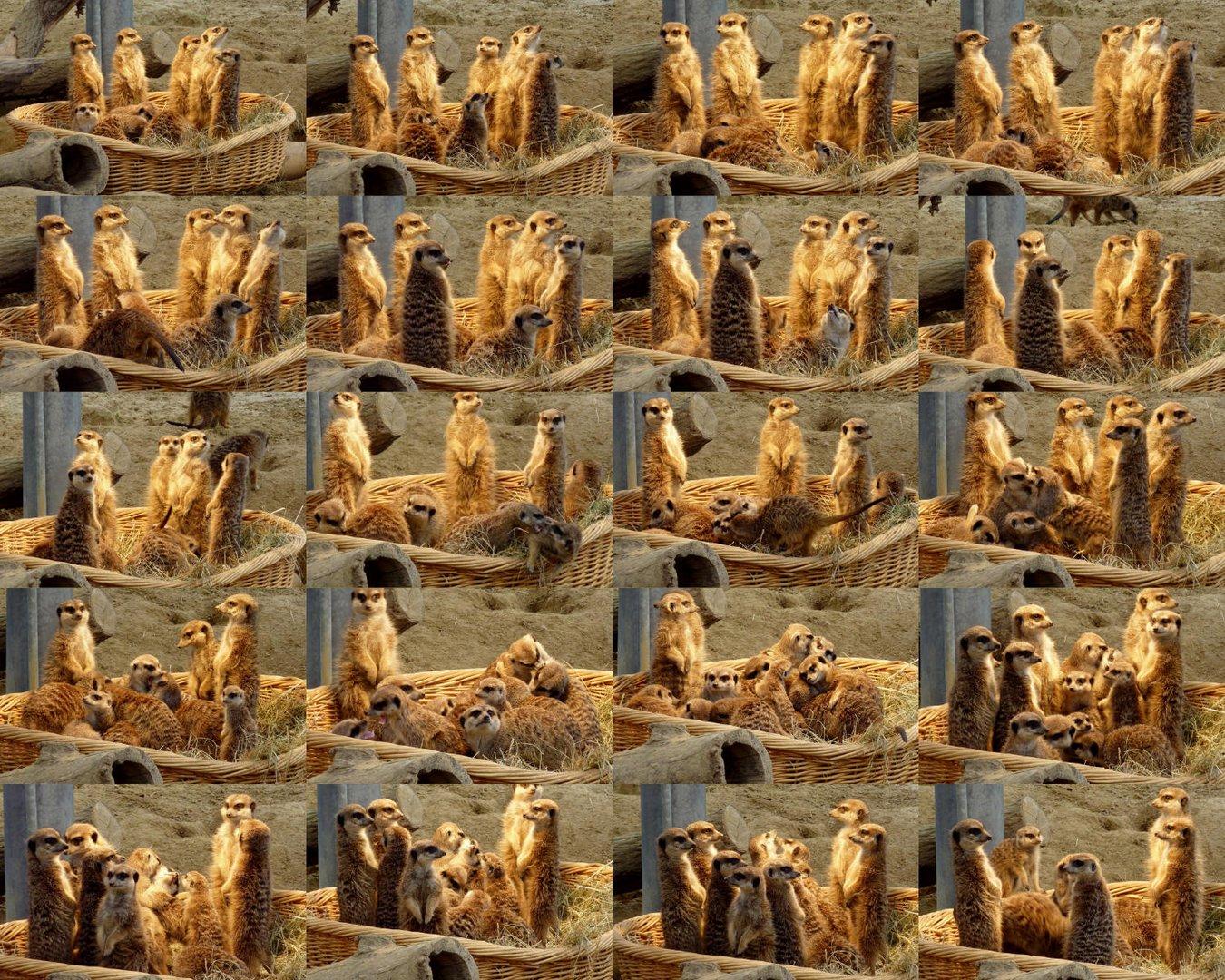 Erdmännchen-Familie im Kölner Zoo auf der Sonnenbank