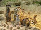 Erdmännchen-Family