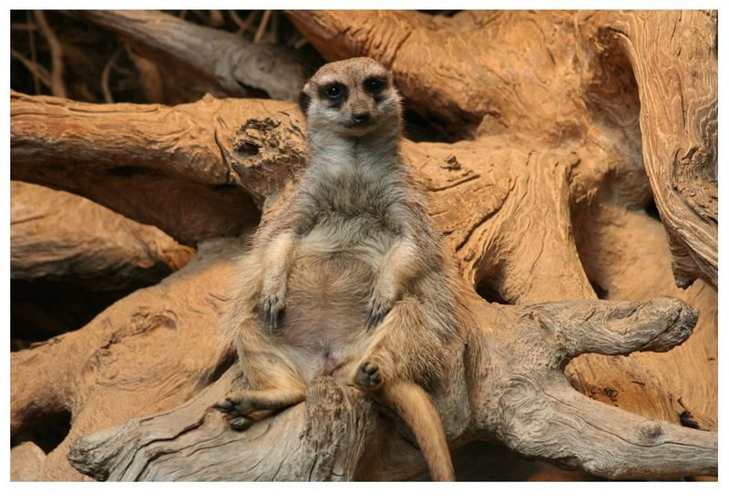 Erdmännchen-Guru (Zoo Dortmund)
