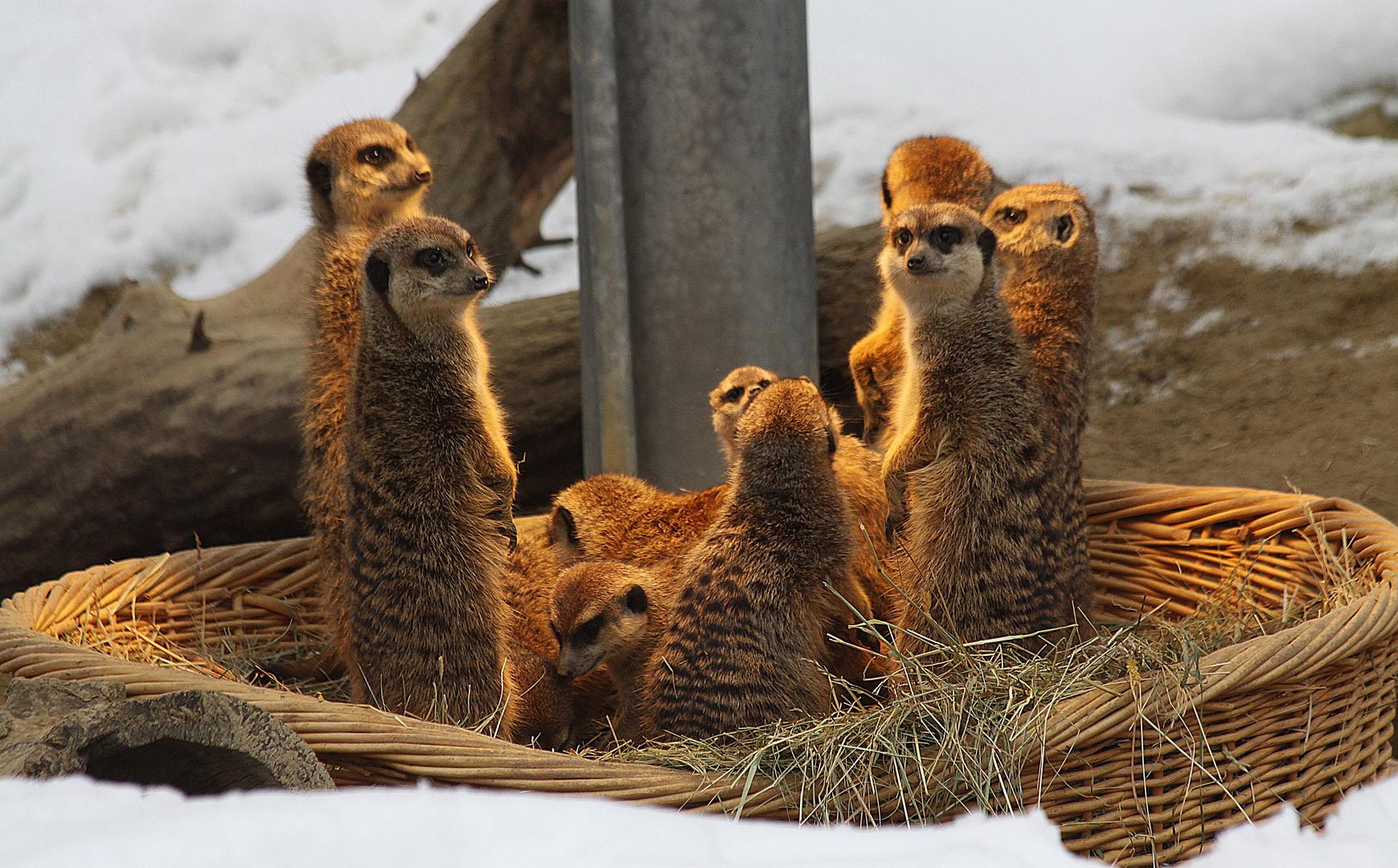 Erdmaennchen im Kölner Zoo