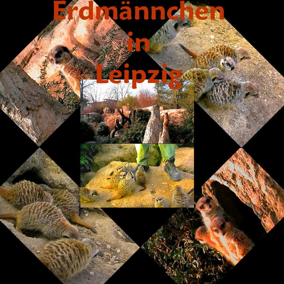 Erdmännchen in Leipzig