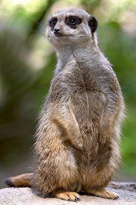 Erdmännchen- Männchen oder Weibchen :-)