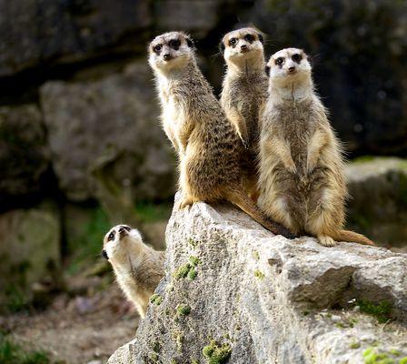 """Erdmännchen sind """"süchtig"""" nach Aussicht wie hier im Opel-Zoo bei Kronberg im Taunus."""