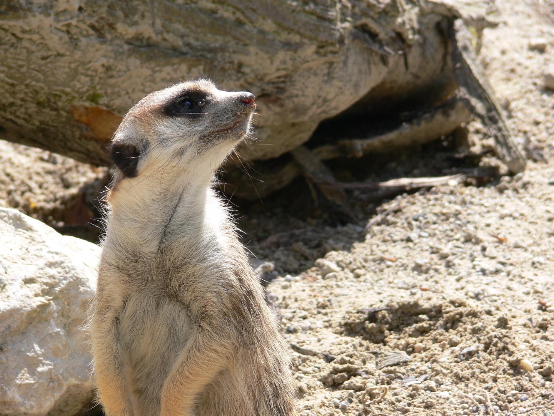 Erdmännchen - Tierpark Hellabrunn