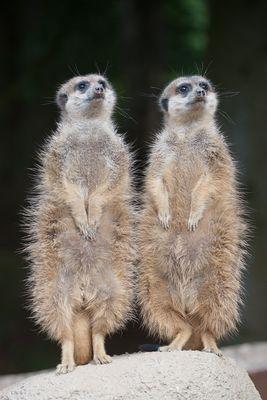 Erdmännchen - Vier-Augen-Ausguck