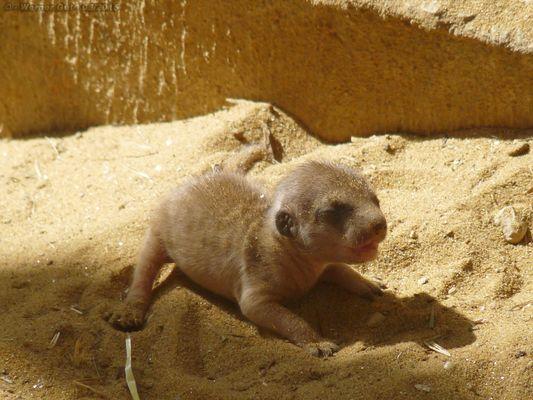 Erdmännchenbaby