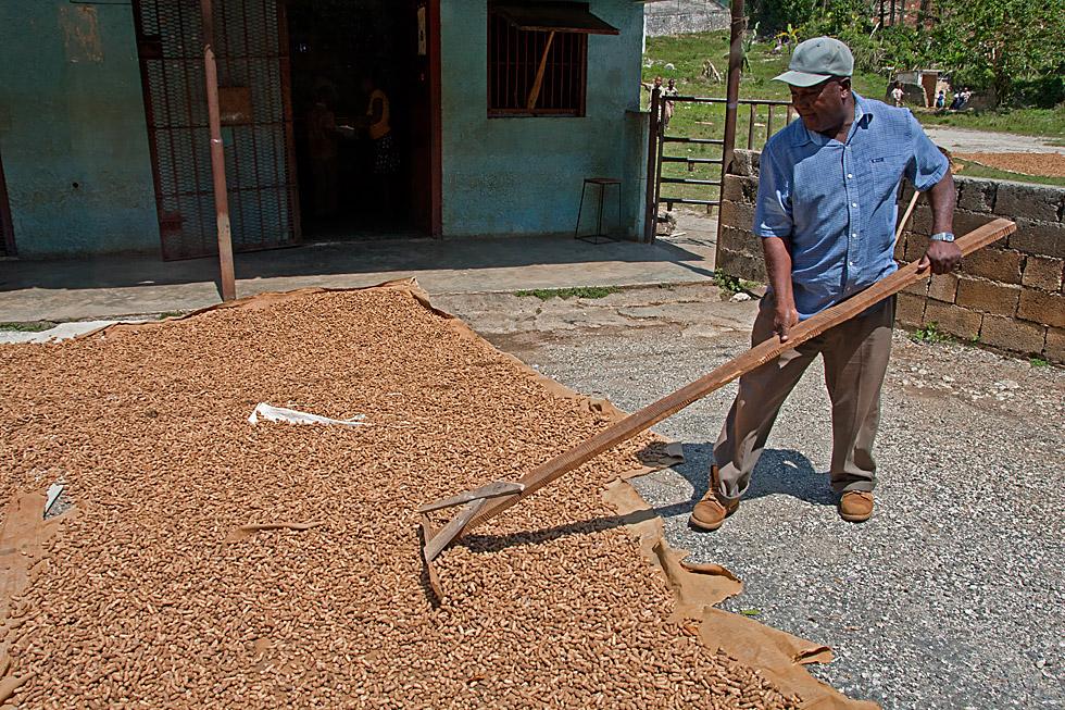 Erdnußbauer beim trocknen seiner Ernte...