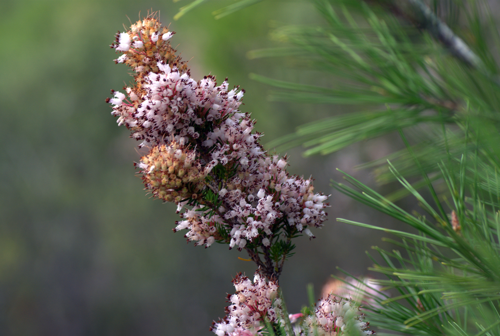 Erica multiflora (bruguera)