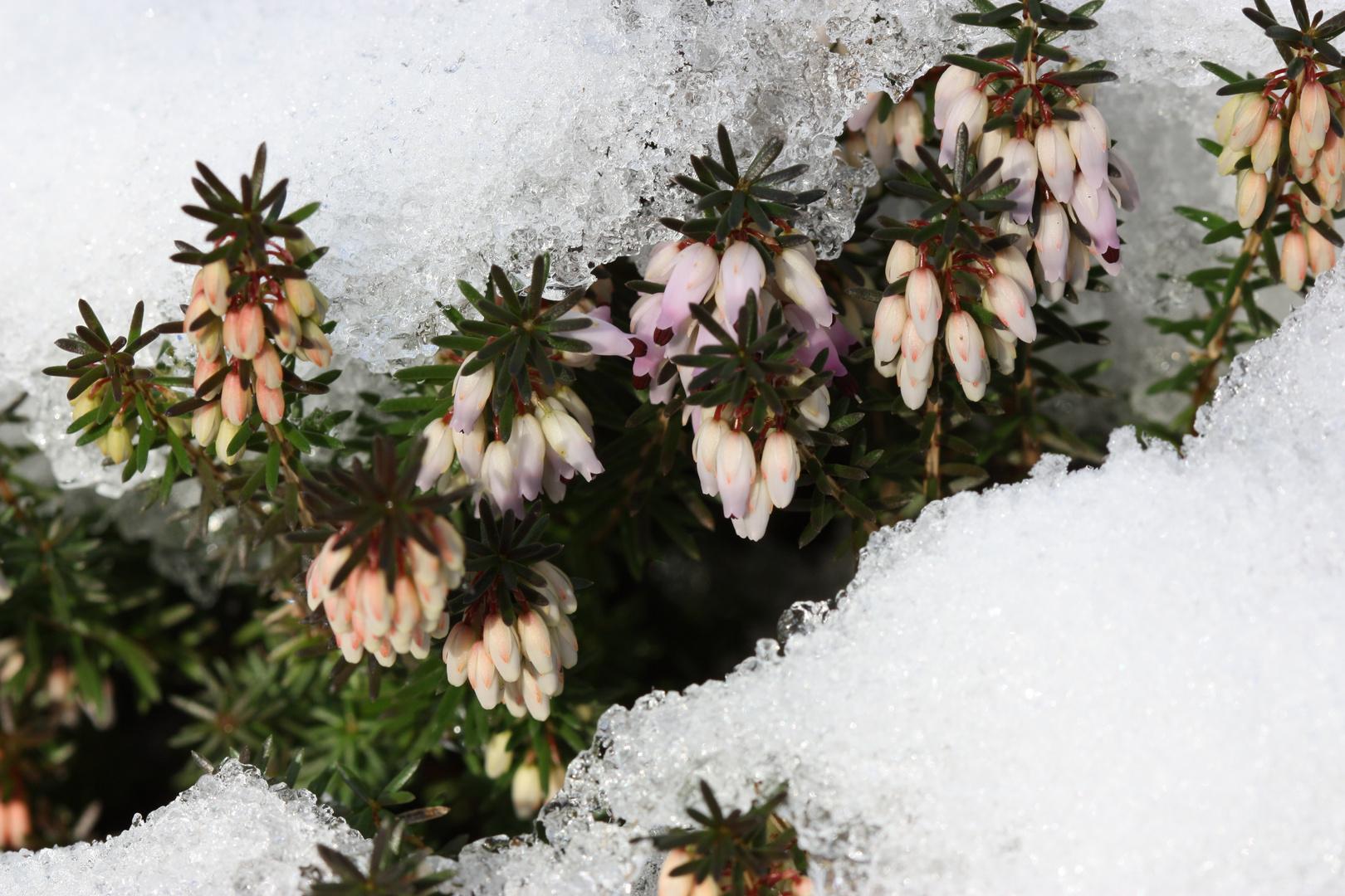 Erika im Schnee II