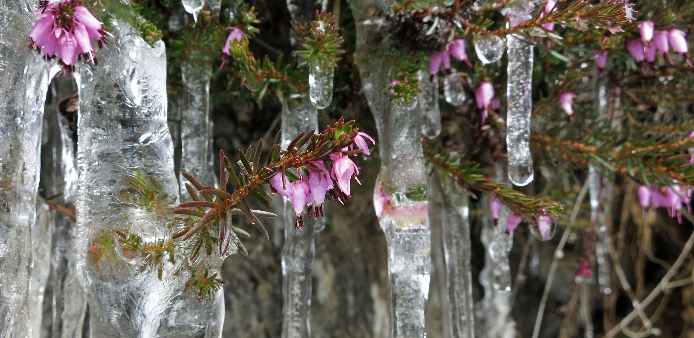 Erikablüten im Eis *1