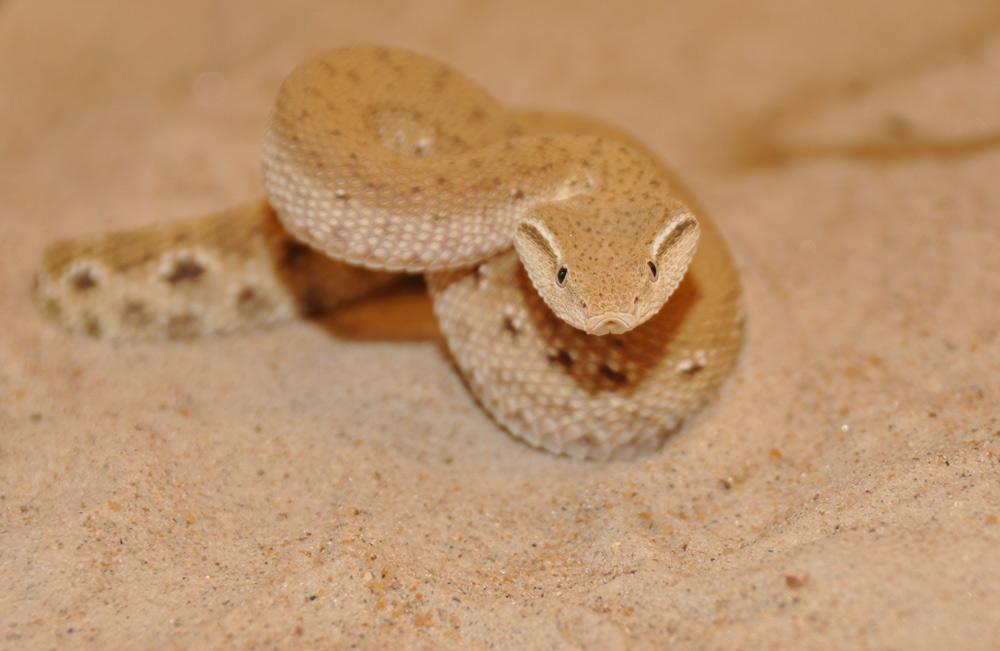 Eristicophis macmahonii