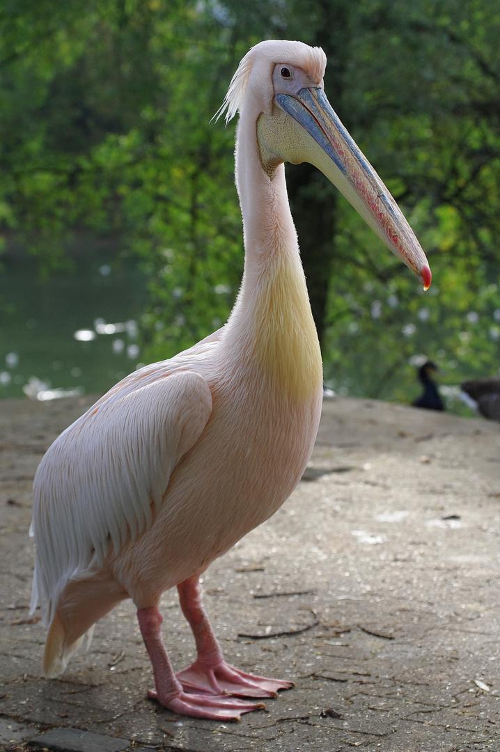 Erklär-Pelikan
