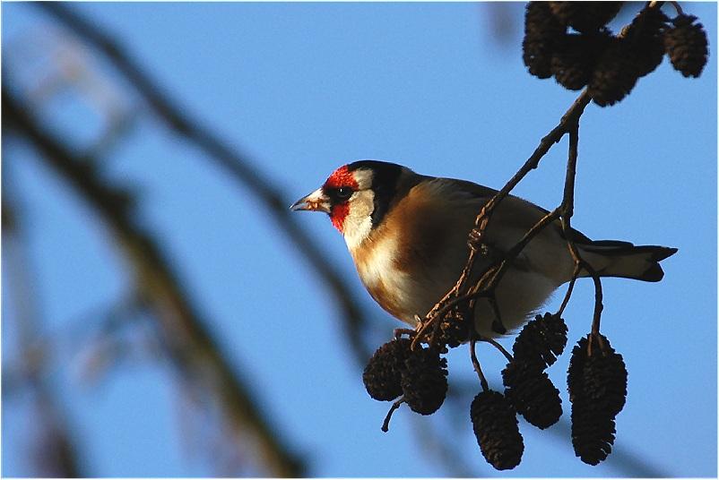 Erlensamen sind eine begehrte Winternahrung für Vögel..