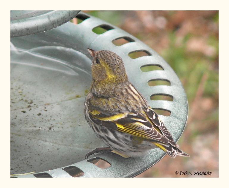 Erlenzeisig Weibchen an der Vogeltränke