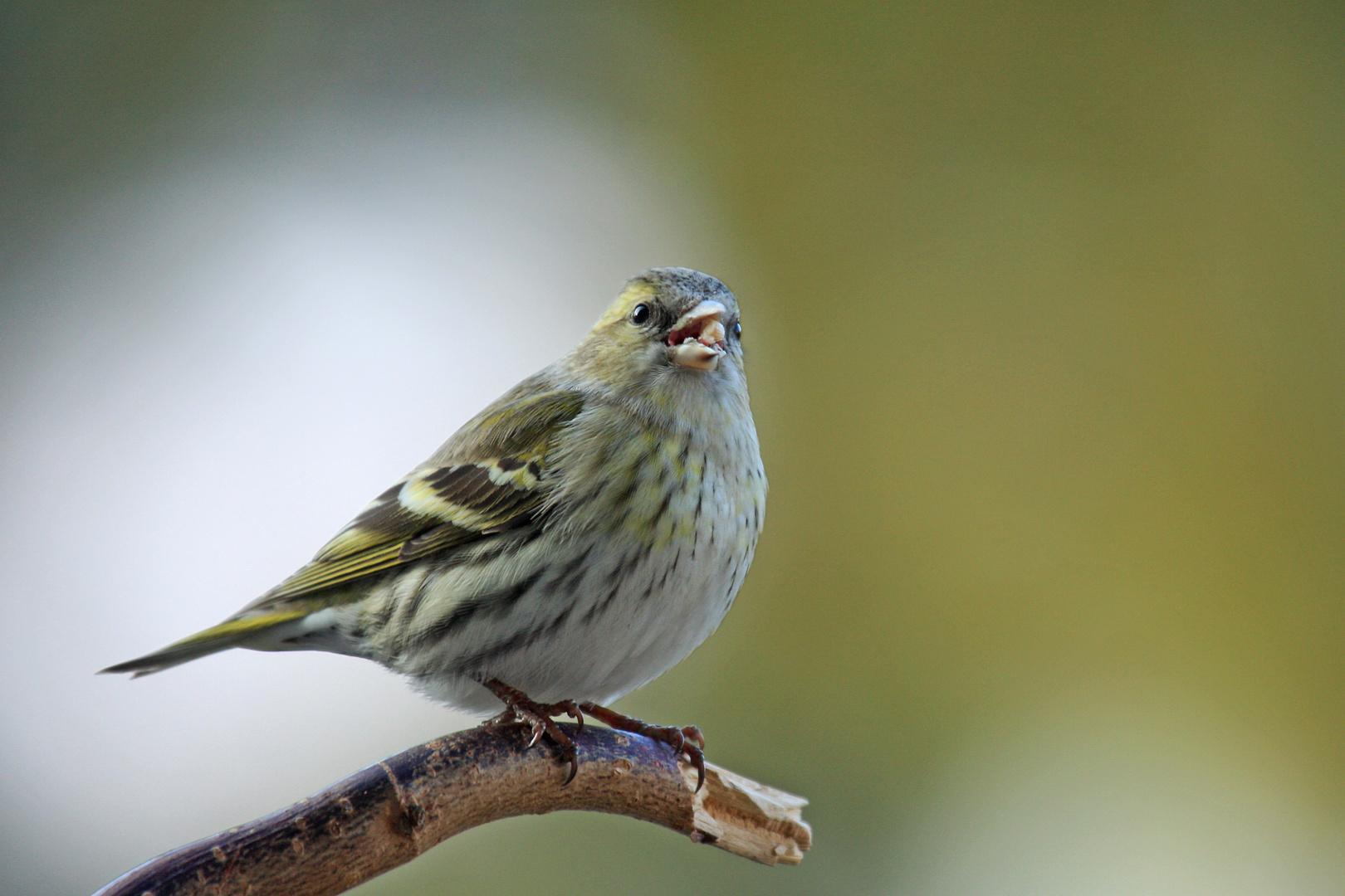 Erlenzeisig (weiblicher Vogel)