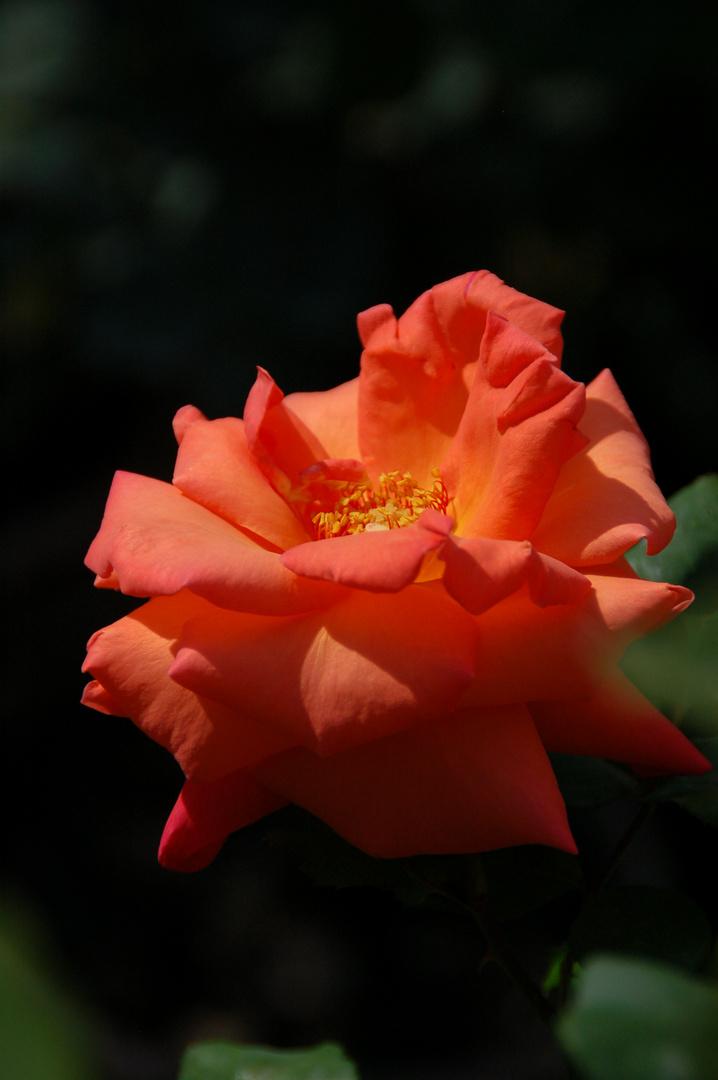 """""""erleuchtete"""" Rose"""