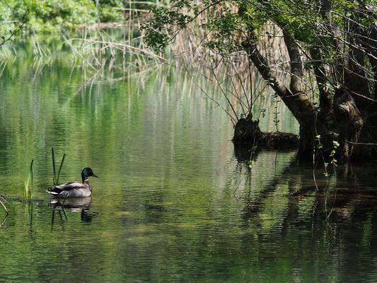 Erpel im Grünen-Seen