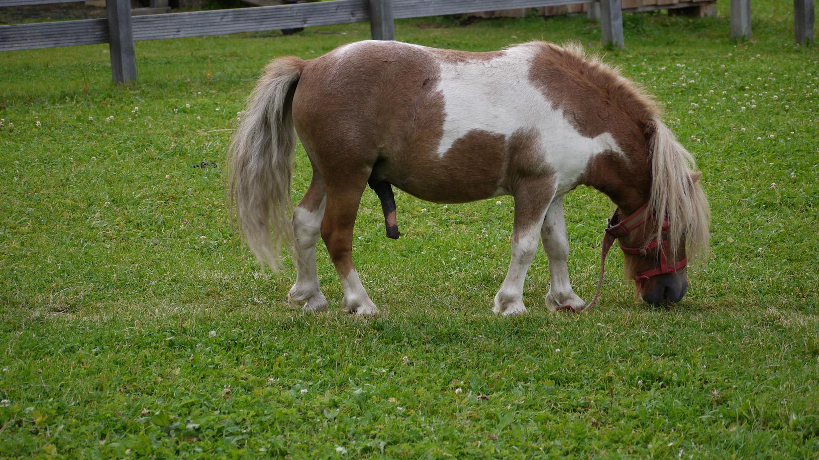 erregtes Pony