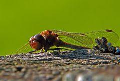 Erschöpft liegt sie in der Sonne und lässt die Flügel hängen.