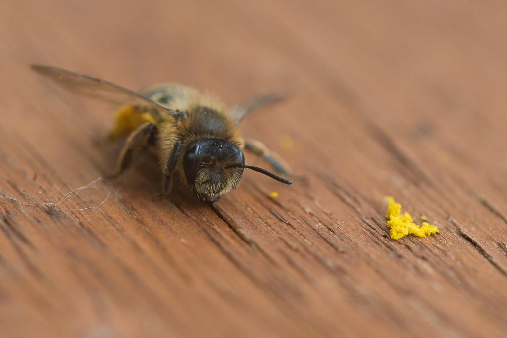 Erschöpfte Biene 01