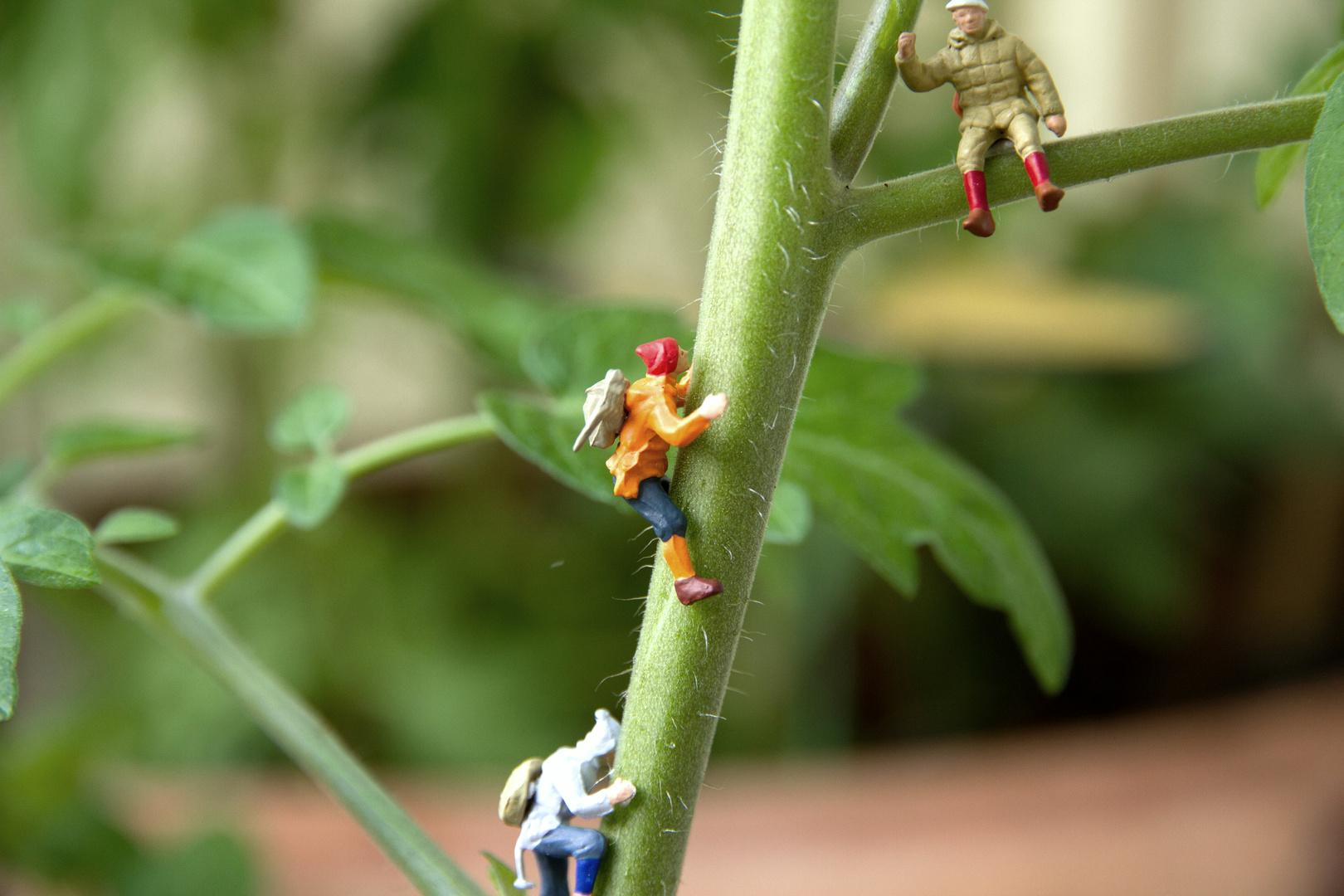 Erst Besteigung einer Tomatenpflanze