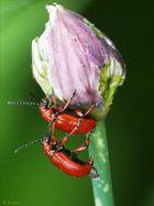 Erst naschten sie zusammen von der Blüte des Schnittlauchs...dann ließen sie sich es gutgehn... ;-)