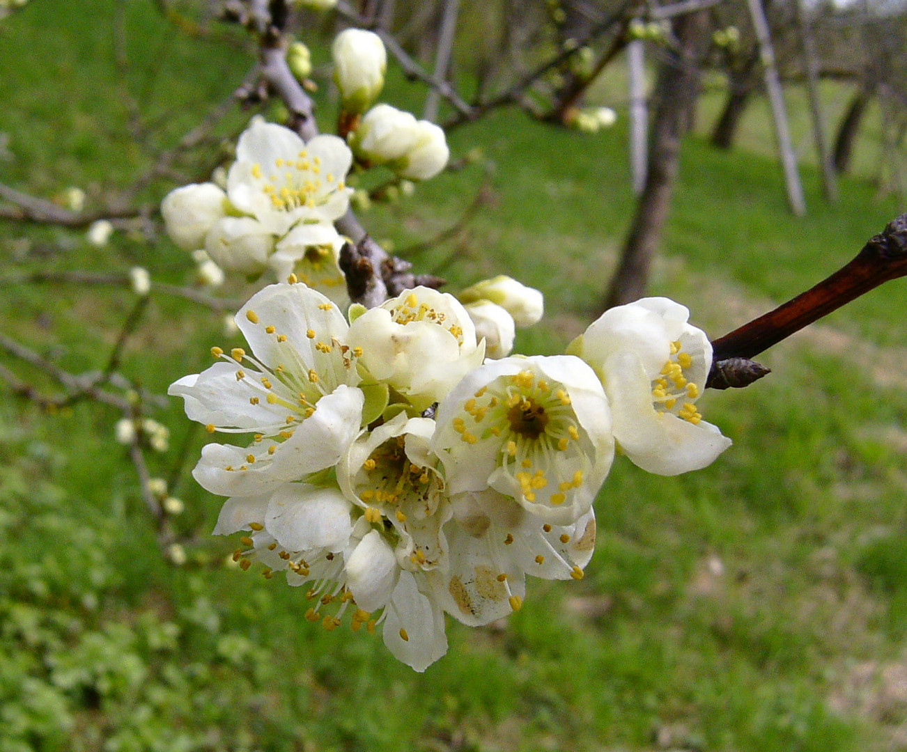 erste Apfelblüten im Remstal